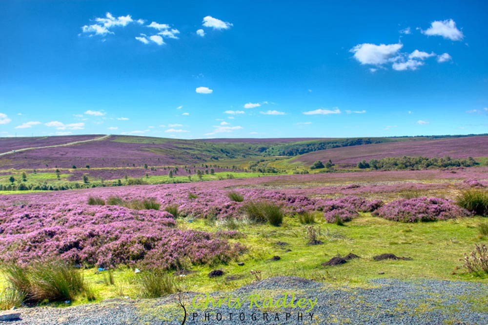 yorkshire moors heather
